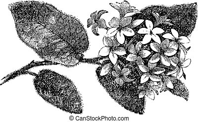 Mayflower or Trailing Arbutus or Epigaea repens, vintage...