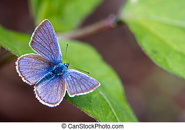The beautiful male Mazarine Blue (Polyommatus semiargus) in Uppland, Sweden
