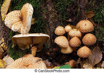mazzo, autunnale, pholiota, funghi, closeup