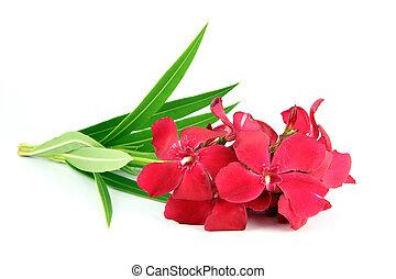 mazzolino, di, rosso, flowers.