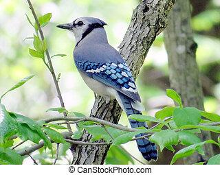 Mclean Blue Jay 2016 - Blue Jay in forest of Mclean near ...