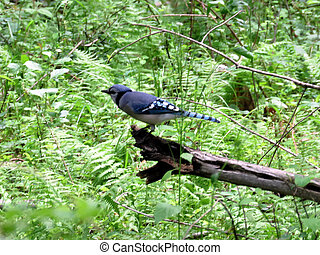Mclean Blue Jay in forest 2016 - The Blue Jay in forest of ...