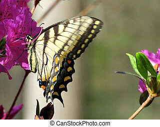 Mclean Eastern Tiger Swallowtail on a flower 2016 - Eastern...