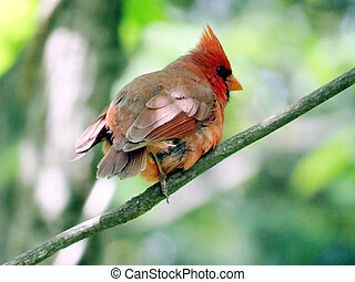 Mclean Red Cardinal in forest 2016 - The Red Cardinal in ...