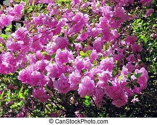 Mclean the azalea blossom 2016