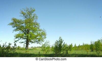 meadow., été, solitaire, arbre, chêne, fond, herbe, ciel