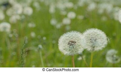 meadow., белый, долли, кастрюля, одуванчик