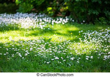 meadow., ヒナギク