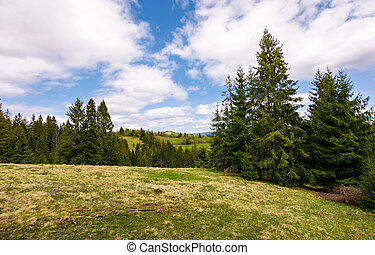 meadow among the spruce forest. beautiful springtime...