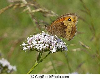 meadow brown butterfly 2