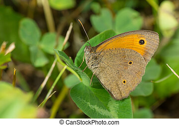 Meadow brown butterfly having rest on a leaf in shadows of summer herbs