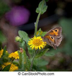 Meadow Brown Butterfly (Maniola jurtina) feeding on a Common Fleabane (Pulicaria dysenterica) flowering near Ardingly Reservoir in Sussex