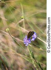 Meadow Brown Butterfly (Maniola jurtina) feeding on wildflower in Italy