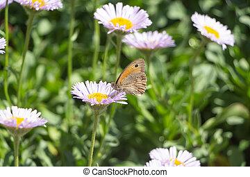 Meadow brown butterfly on a flower