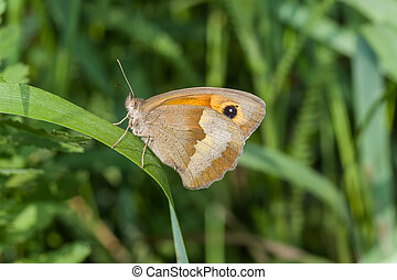 Meadow brown butterfly sitting on a grass blade in shadows of summer herbs