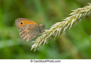 Meadow brown butterfly sitting on a small spikele
