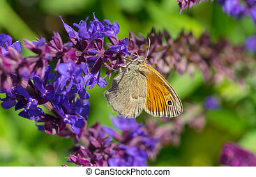 Meadow brown butterfly sucking nectar on a wild sage flower