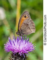 meadow brown / maniola jurtina