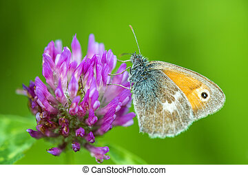 Meadow brown on a clove flower