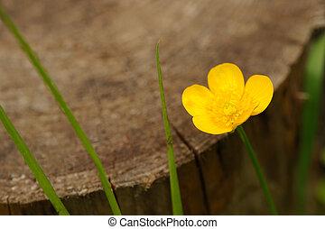 Meadow Buttercup Flower by Tree Stump