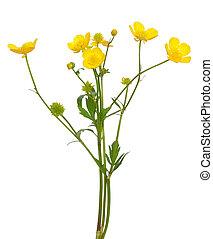 Meadow buttercup ( Ranunculus acris) flower