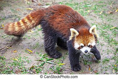 meadow., china., mâle, panda, rouges