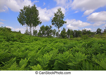 Meadow covered by Eagle fern plants with birches and cloudy sky on background