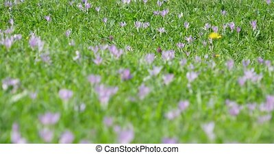 Natural meadow full of wild crocus, with their pretty, lavender blooms, in the Carpathian Mountains of Ukraine. 4k DCI stock footage