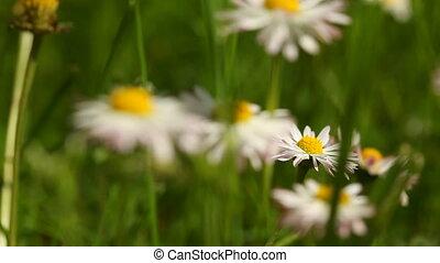 meadow., fleurs, pâquerettes, daisy.