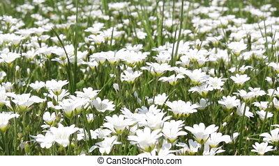 Meadow - Flowers in springtime