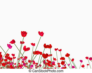 meadow full of red poppies on white background