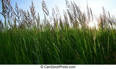 meadow grass against sky and sun by day in Russia. Fragment...