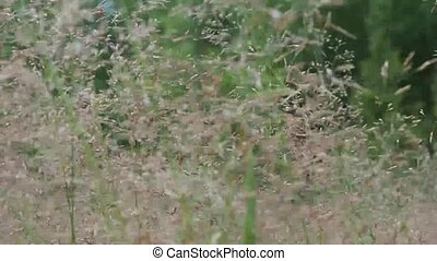 Meadow grass background. Beautiful tall grass moving in the...
