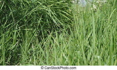 Meadow grass close-up in sunlight - Meadow grass close-up in...