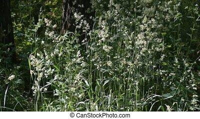 Meadow-grass in a meadow. Conical panicles with many...