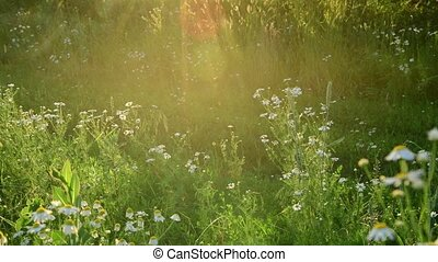meadow grass with chamomile in backlight - a fragment of a...