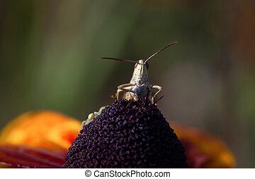 Meadow grasshopper (Chorthippus parallelus) on a leaf