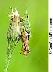 meadow grasshopper (Chorthippus parallelus) on a thistle
