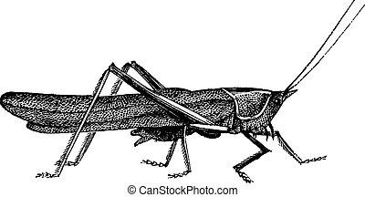 Meadow grasshopper or Chorthippus parallelus vintage ...