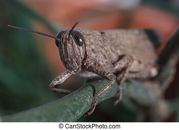 Meadow Grasshopper or Chorthippus parallelus with front view and exteme closeup macro shot.