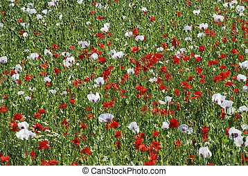Meadow in the spring