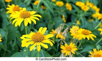 meadow., jaune, foyer., sélectif, fleurs sauvages, grandir