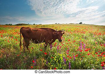 meadow., koe