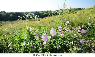 Meadow Mauve pink sways in breeze in field