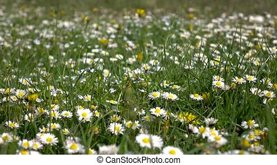 Meadow of chamomile and other field plants in grass. Details