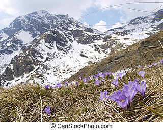 Meadow of crocuses in the high mountains