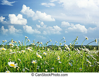 Meadow of daisy