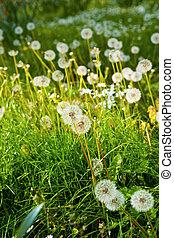 meadow of Dandelions close up