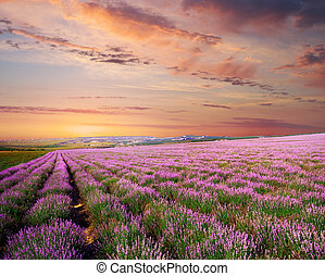 Meadow of lavender - Meadow of lavender. Nature composition....