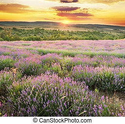 Meadow of lavender. - Meadow of lavender on sunset. Nature...